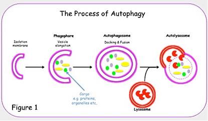 autophagie-schema-1